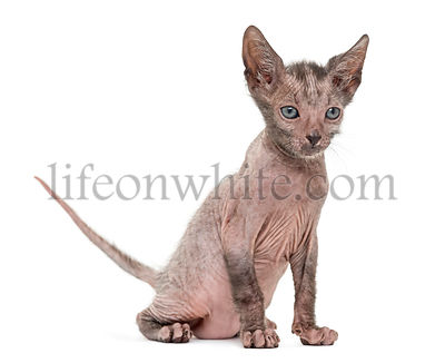 Kitten Lykoi cat, 7 weeks old, also called the Werewolf cat against white background