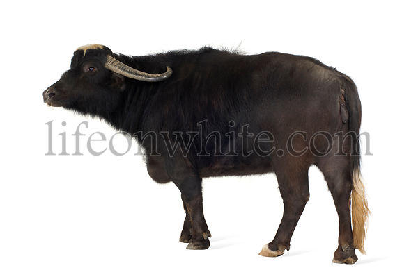 Domestic Asian Water buffalo - Bubalus bubalis