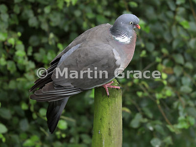 Common Wood Pigeon (Columba palumbus) perching on a post, Badenoch & Strathspey, Scottish Highlands