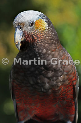 Close-up of a South Island & Stewart Island Kaka (Nestor meridionalis ssp meridionalis), Oban, Stewart Island, New Zealand