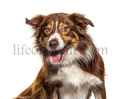 Happy Border Collie panting, isolated on white