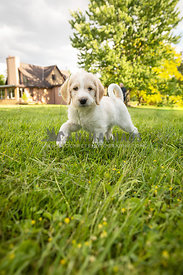White, yellow labrador puppy running in grass.