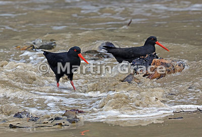 Two Dark morph Variable Oystercatchers (Black Oystercatcher) (Haematopus unicolor) in swirling waters, Butterfield Beach, Ste...