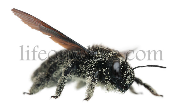 Female Carpenter bee covered with pollen grains, Xylocopa violacea, in front of white background