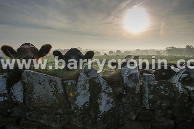 16th October, 2015.Curious cattle in Robinstown,, County Meath. Photo:Barry Cronin/www.barrycronin.com info@barrycronin.com 0...