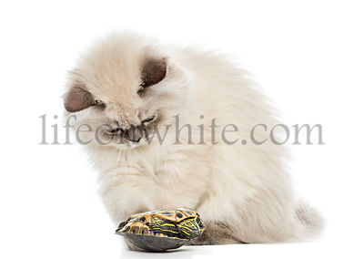 British Longhair kitten playing with a pond slider turtle