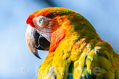 Close up profile portrait of scarlet macaw parrot.