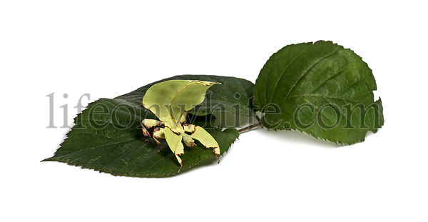 Leaf insect, Phyllium giganteum, on leaf  in front of white background