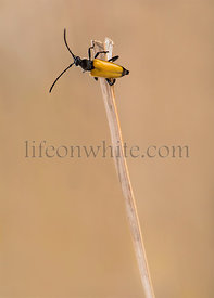 Soldier Beetle on a twig in front of a brown background
