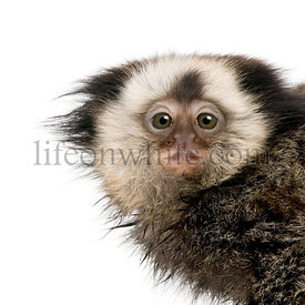 Portrait of young White-headed Marmoset, Callithrix geoffroyi, 5 months old, studio shot