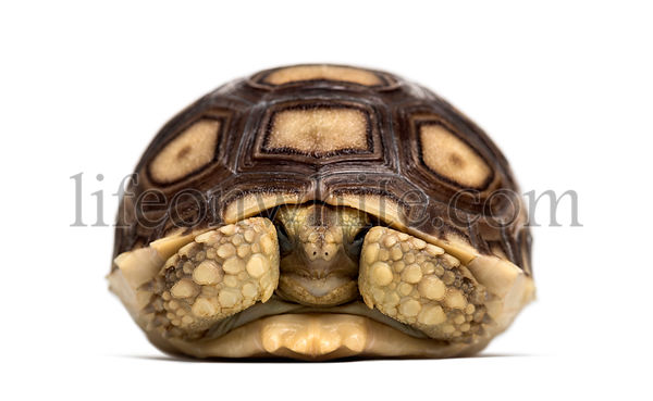 African spurred tortoise, Centrochelys sulcata, also called the sulcata tortoise, in front of white background