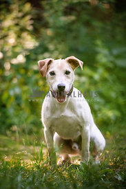 Jack Russel Terrier sitting in the grass