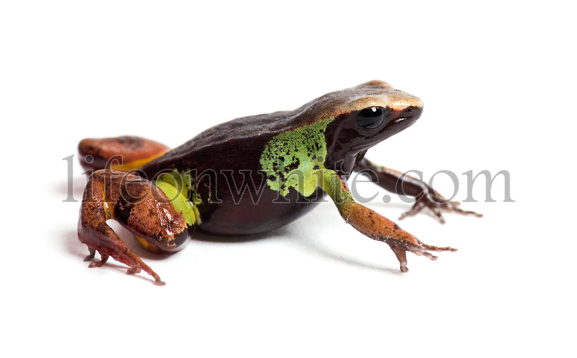 Beautiful mantella, Mantella pulchra, in front of white background