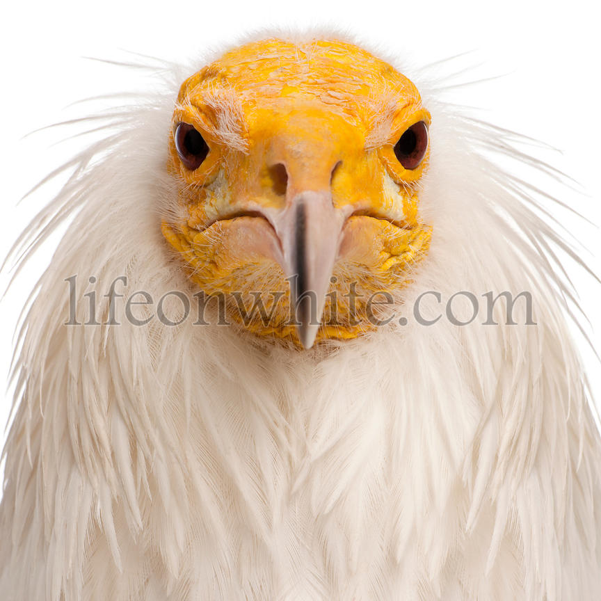 Close-up of Egyptian Vulture, Neophron percnopterus, in front of white background