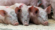 PTired piglets going to sleep oned of sawdust, Cumbria, UK.
