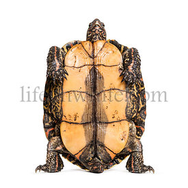 Plastron of the ornate or painted wood turtle, Rhinoclemmys pulcherrima, in front of white background
