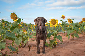 chocolate lab standing in field of sunflowers