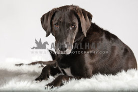 close up of lab hound mix laying on white shaggy rug with white background