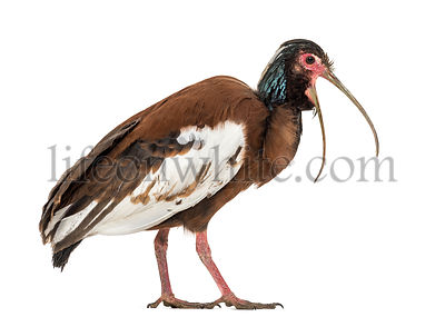 Madagascan ibis, Lophotibis cristata, also known as the Madagascar crested ibis, white-winged ibis or crested wood ibis stand...