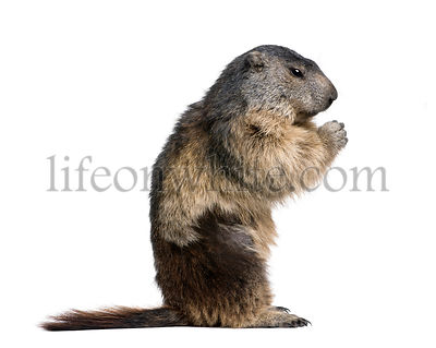 Alpine Marmot, Marmota marmota, 4 years old