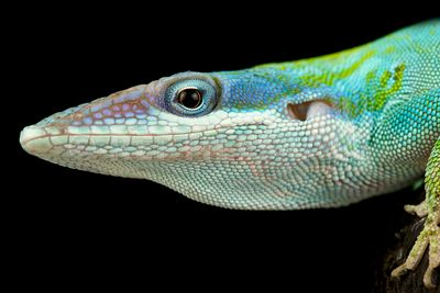 Blue-headed anole (Anolis allisoni)
