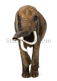 Front view of an African elephant, isolated on white
