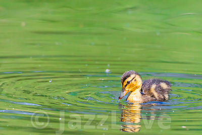 Cute duckling swimming in pond with green water in spring.