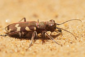 Closeup on the Northern dune tiger beetle, Cicindela hybrida on sandy soil