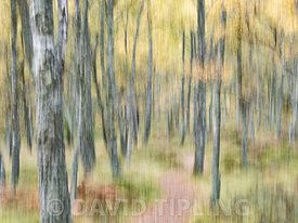 Craigellachie National Nature Reserve,  Aviemore, Scotland,  autumn colour in birch woodland