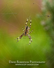 Prints & Stock Image - Garden Spider, Araneus diadematus, on web.  Clackmannanshire, Scotland.