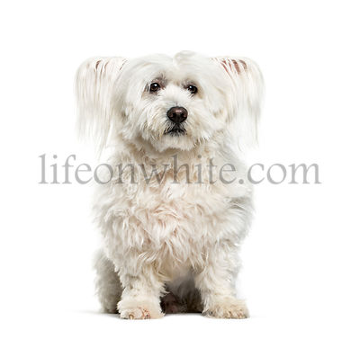 Maltese dog, 10 years old, sitting against white background