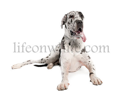 harlequin Great Dane (18 months old)