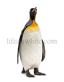 King penguin isolated on white