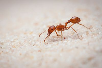 Harvester ant worker