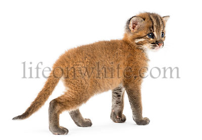 Rear view of an Asian golden cat, Pardofelis temminckii, 4 weeks old