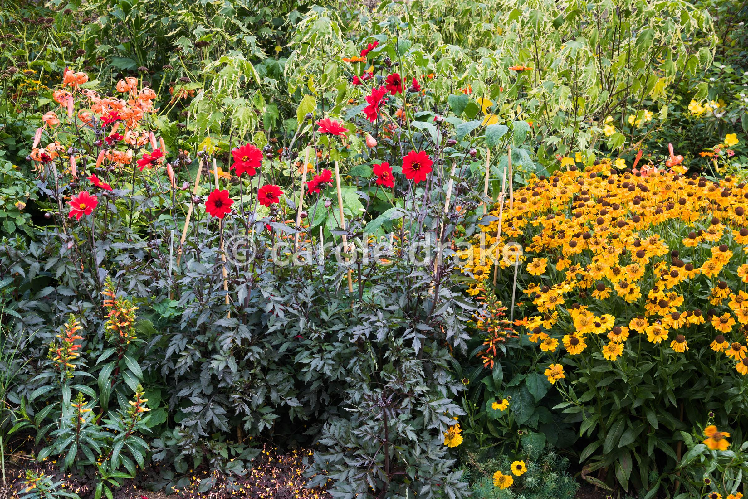 Late summer border at Bourton House, Moreton-in-Marsh in August including Dahlia 'Bishop of Llandaff', Helenium 'Sahin's Earl...
