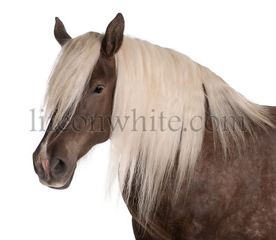 Comtois horse, a draft horse, Equus caballus, 10 years old, in front of white background