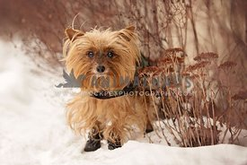 Yorkie standing in the snow