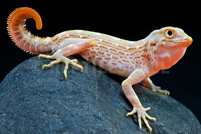Scorpion-tailed gecko (Pristurus carteri)
