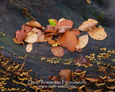Prints & Stock Image - Beech tree leaves and bracket fungi on black tree trunk, Logie, Moray, Scotland