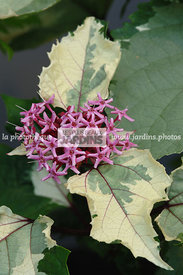Clerodendrum bungei 'Pink Diamond'. Plantarium. Hollande