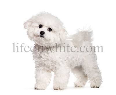 Bichon Frise standing against white background
