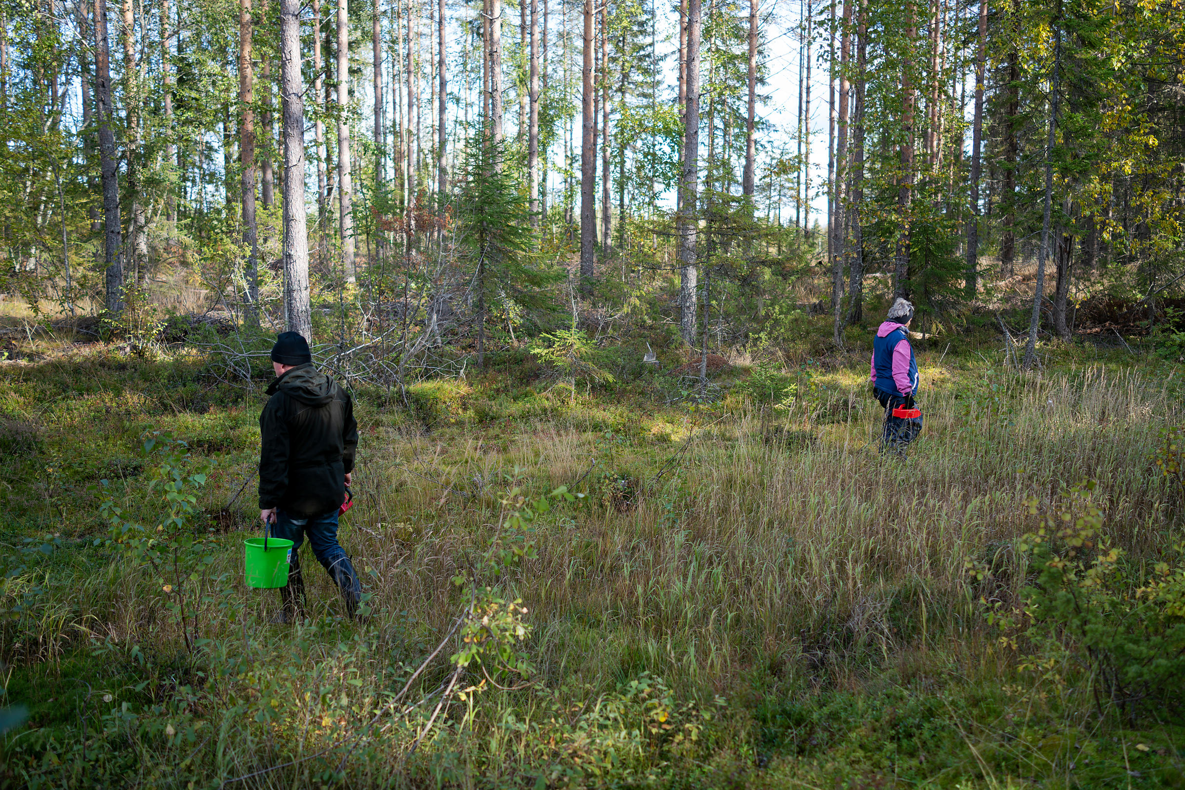 Markku and Helena Kuosmanen picking bilberries in Petäjävesi.
