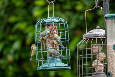 Group of fledgling blue tits on bird food feeders.