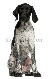 German Shorthaired Pointer puppy, 4 months old, sitting in front of white background
