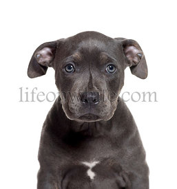American Staffordshire Terrier, 3 months old, in front of white background