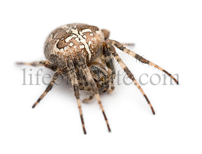 European garden spider, Araneus diadematus, curled up against white background