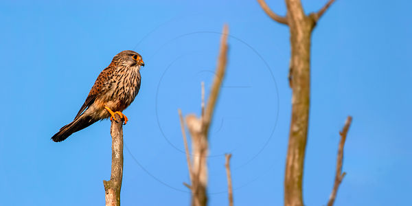 Faucon crécerelle - Common kestrel (Falco tinnunculus)