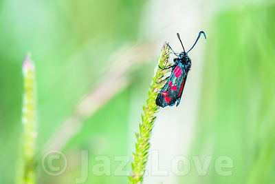 Six-spot burnet, Zygaena filipendulae, colorful british moth with red spots on black wings.