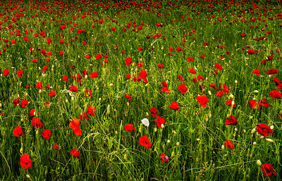 Poppy field near Hassop and Baslow